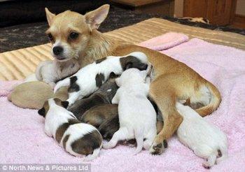 Чихуахуа Коко родила рекордное количество щенков